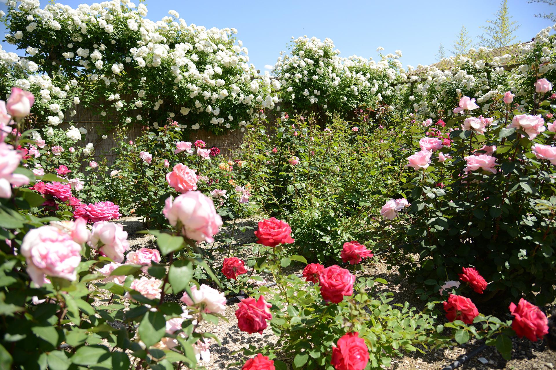 slide_rose
